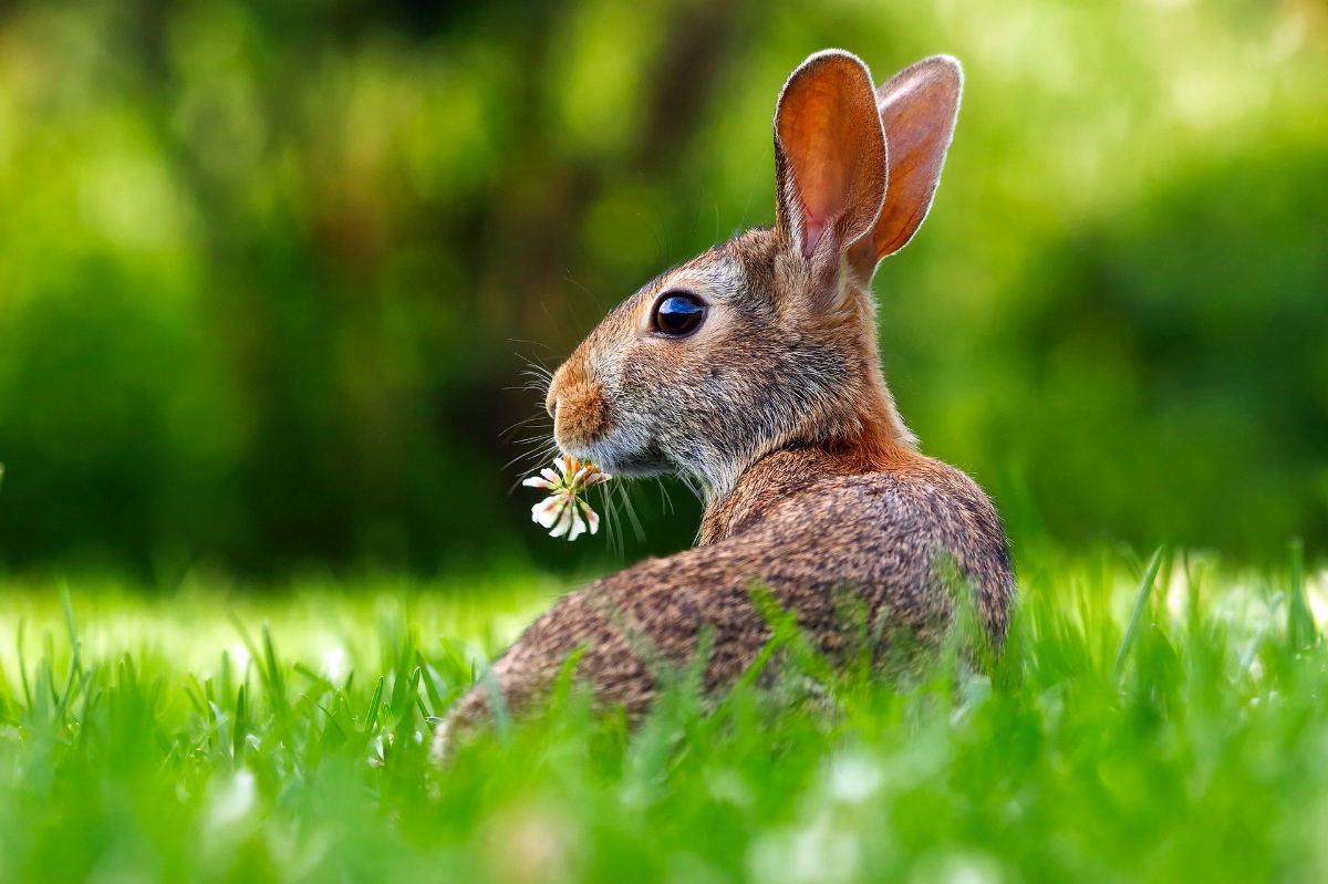 シロツメクサとウサギ